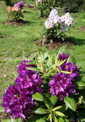 Rhododendron X ' Marcel Menard '