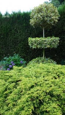 Ilex aquifolium, Juniperus x pfitzeriana Old Gold