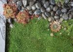 Молодила и ирландский мох