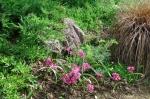Осока рыжая и лук Островского