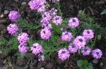 Aethionema Warley Rose