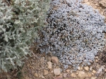 Raulia australis