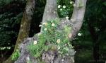 saxifraga Southside Seedling, erigeron, sedum confusum (слева).