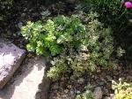 Sedium spurium Tricolor