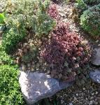 Sempervivum montanum Braunii
