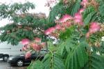 Разное :: Альбиция ленкоранская на паркинге перед домом.