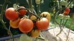 Разное :: томат Felicia f1