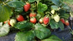 fraise Ostara