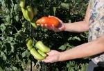 tomate Cornabel