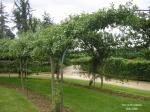 Путешествия по паркам и розариям :: Туннель кордон из яблонь
