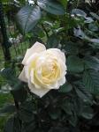 White Abundance