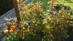 Плетистые розы, 18 апреля.