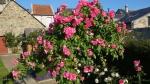 Роза на штамбе :: Роза на штамбе  Belle de Sardaigne