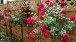 rosier Munstead wood