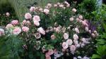розы  Sexy-Rexy