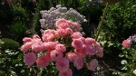 флорибунда, почвопокровные, миниатюрки :: rosier sexy rexy