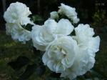 флорибунда, почвопокровные, миниатюрки :: White Meillandina