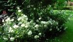 флорибунда, почвопокровные, миниатюрки :: White Meidiland