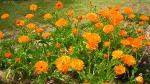 Calendula Orange King