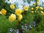 Lobelia Richardiana и роза