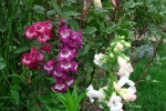 Penstemon Royal Sensation