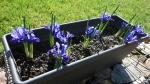 Iris reticulata 7 марта