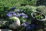 Iris reticulata Cantab 15 февраля 2014