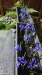 Ирисы :: Iris reticulata 'Harmony'