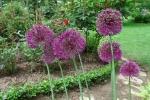 Декоративные луки. :: Allium aflatunense
