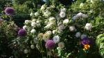 Декоративные луки. :: Allium Ambassador