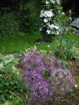 Декоративные луки. :: Allium Christophii