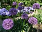Декоративные луки. :: Allium 'Gladiator'