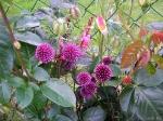 Декоративные луки. :: Allium sphaerocephalon