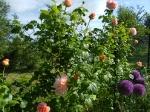 Декоративные луки. :: Polka и allium giganteum
