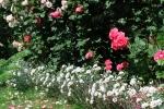 Гвоздика с розами