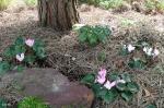 Цикламены цветут с октября. Фото 15 февраля.