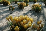 Крокусы, гиацинты, нарциссы и др, луковичные :: Крокусы 2010!