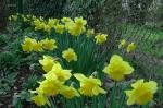 Крокусы, гиацинты, нарциссы и др, луковичные :: Пора цветения нарциссов.