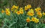 Крокусы, гиацинты, нарциссы и др, луковичные :: Нарциссы