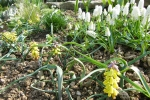 Крокусы, гиацинты, нарциссы и др, луковичные :: muscari  botyoides