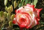 Бриза и роза Impеratrice Farah