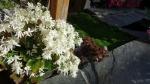 камнеломка shiranami white, молодило, ирландский мох.