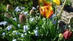 Tюльпаны  :: Бахромчатые начинают раскрываться