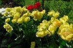 Tюльпаны  :: Akebono