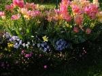 Tюльпаны  :: Antoinette