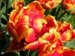 Tюльпаны  :: Double focus