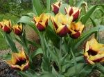 Tюльпаны  :: Gavota