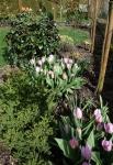 La tulipe fleur de lys Claudia