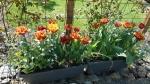 Tulipe frangée 'Bastia'