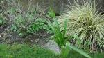 Carex oshimensis 'Evergold', amaryllis belladonna, euonymus alatus compactus.